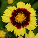 Thumb_coreopsis_uptick_yellow_red_cu_thumb_webready