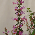 Thumb_agastache_sunrise_rose_cu