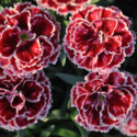 Thumb_dianthus_constantbeauty_crushburgundy_cu