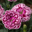 Thumb_dianthus_constant-beauty_crush-cherry_cu