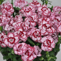 Thumb_dianthus_constantbeauty_crushpink
