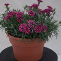 Thumb_dianthus_constantbeauty_crushrose_fp