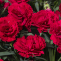 Thumb_dianthus_constantbeauty_red_cu