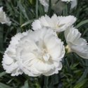Thumb_dianthus_constantbeauty_white_cu
