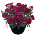 Thumb_dianthus_flow_blinkybeach_fp