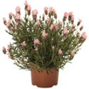 Thumb_lavandula_papillon-light-rose_fp