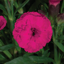 Thumb_dianthus_carmen_purple_thumb