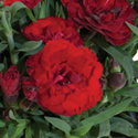 Thumb_dianthus_carment_darkred_thumb