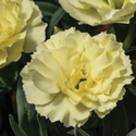 Thumb_dianthus_constantbeauty_yellow_thumb