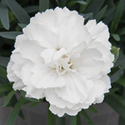 Thumb_dianthus_supertrouper_white21_thumb