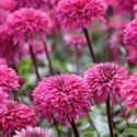 Thumb_echinacea_lovelylolly_thumb