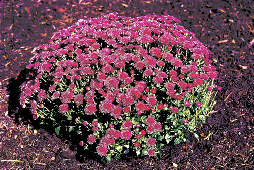 Garden Mum Cheryl™ Regal Purple USPP #13974