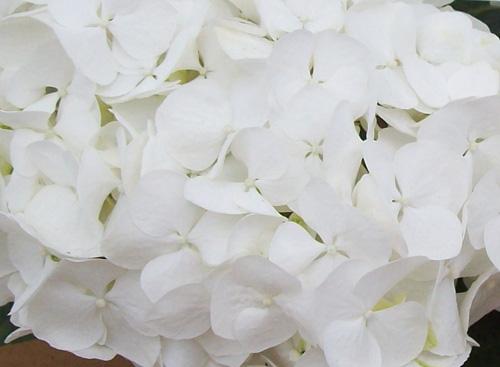 Hydrangea First White Uspp 16204