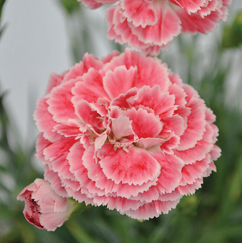 Glplants dianthus scent first pot coral reef mightylinksfo