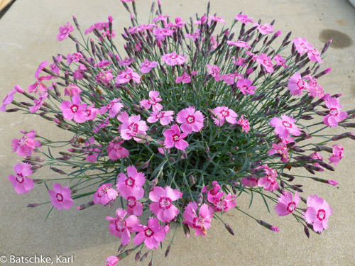 Glplants thumbdianthusmountainfrostpinktwinklecuthumbwebready view images new dianthus pink twinkle mightylinksfo